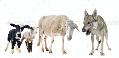ewe, lambs and wolf
