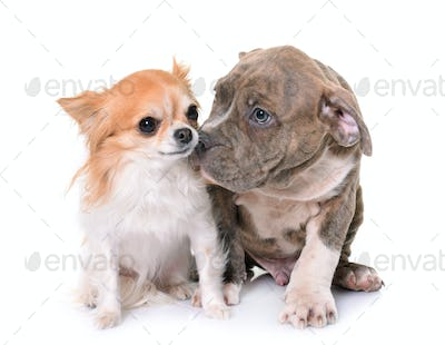 puppy american staffordshire terrier and chihuahua