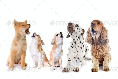 group of dogs howling