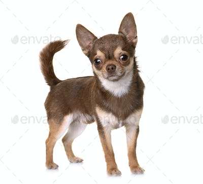 brown chihuahua in studio