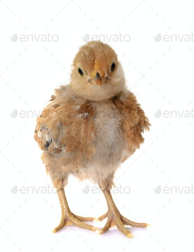 Barbu d'Anvers chick