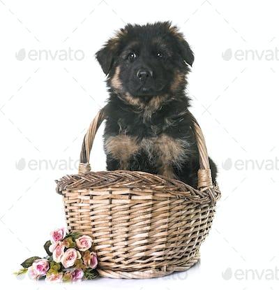 puppy german shepherd