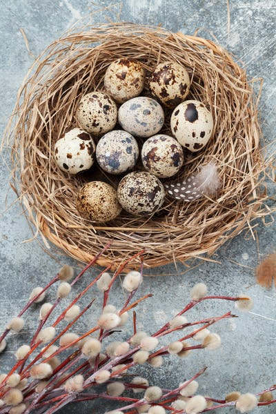 Quails eggs in nest and pussy willow. Easter greeting card