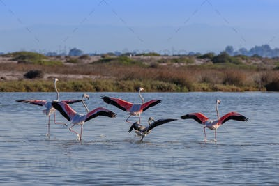 pink flamingos in flight