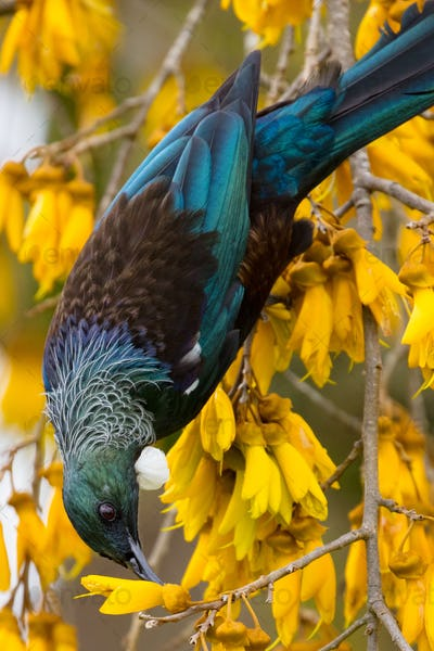 Tui Bird in New Zealand