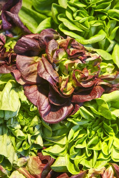 Green and red lettuce leaves detail. Healthy food. Organic agriculture