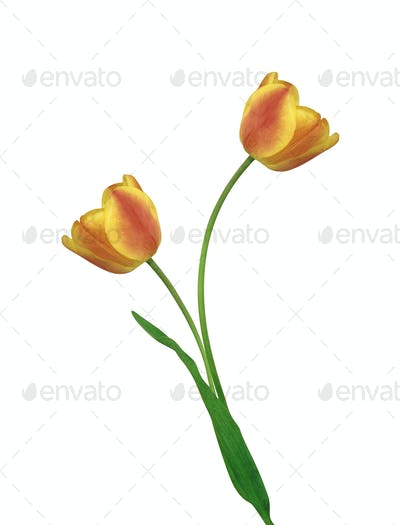 Tulip isolated on white