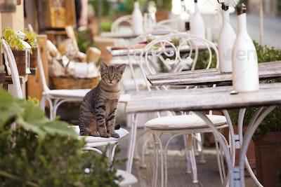 Tuscany cat