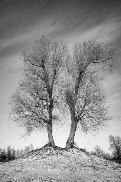 Black and white picture of leafless twin trees
