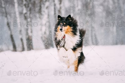 Funny Young Shetland Sheepdog, Sheltie, Collie Playing Outdoor I
