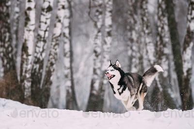 Siberian Husky Dog Running Outdoor In Snowy Field At Winter Day.