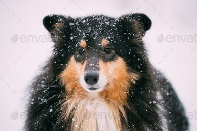 Close View Of Shetland Sheepdog, Sheltie, Collie In Snowy Winter