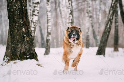 Caucasian Shepherd Dog Running Outdoor In Snowy Field At Winter