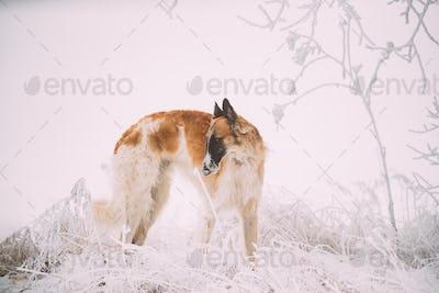 Russian Wolfhound Hunting Sighthound Russkaya Psovaya Borzaya Do