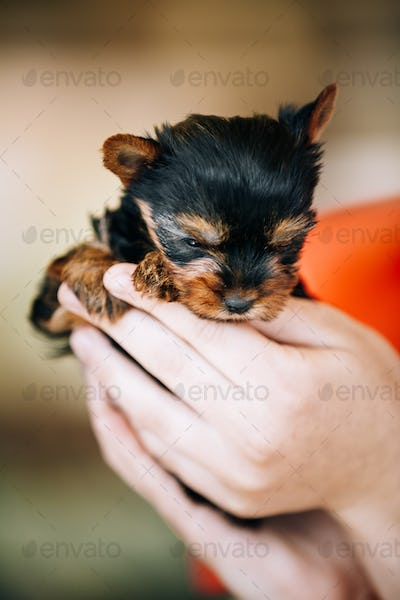 Small Cute Yorkshire Terrier Dog Puppy