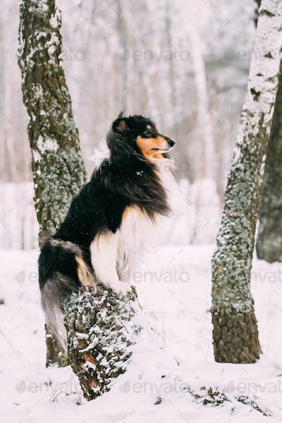 Shetland Sheepdog, Sheltie, Collie Sitting On Tree In Snowy Wint