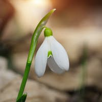 Spring snowdrop flowers blooming in sunny day.