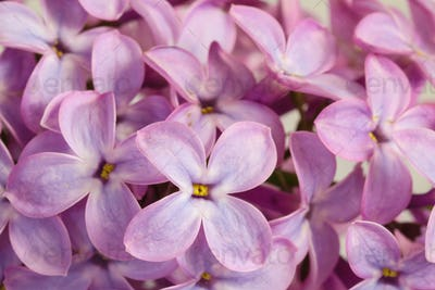 Beautiful blossoming lilac (syringa)