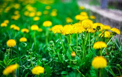 yellow dandelion flower