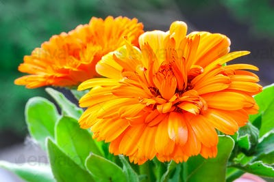 beautiful orange daisy in the garden