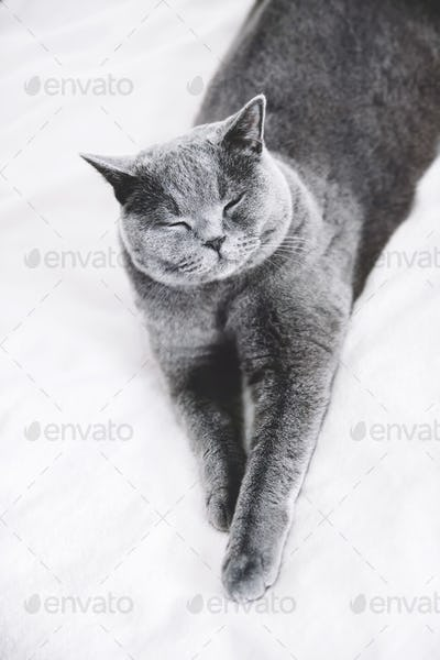 Grey British shorthair cat laying on a bed