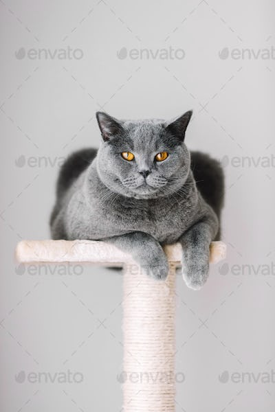 Majestic grey cat laying on the top of the scratcher.
