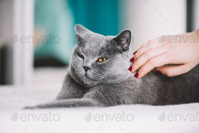 Woman petting a fluffy grey cat on the back.