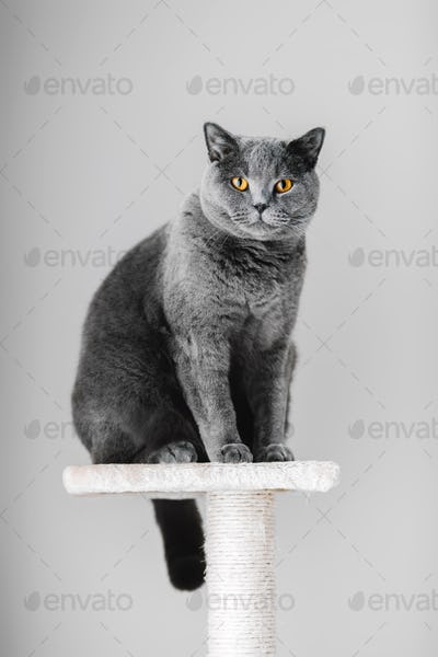 Majestic grey purebred cat sitting on the scratcher