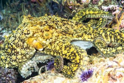 Octopus on reef in California