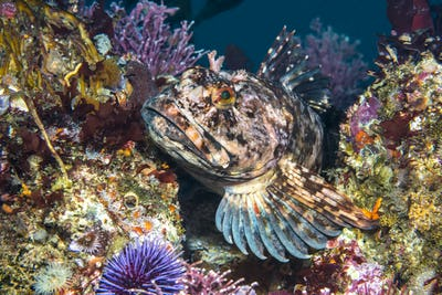 Cabezon fish on California reef