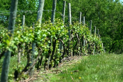 Grape vineyard in springtime