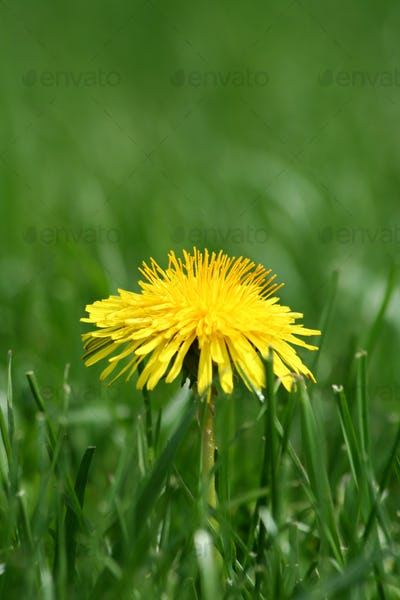 Yellow dandelion in grass