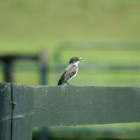 Bank Swallow on a fence