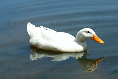 White domestic duck in a pond
