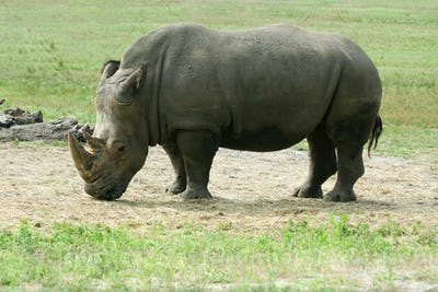 White Rhinoceros on the savannah