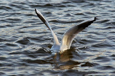 Diver - gull on the water