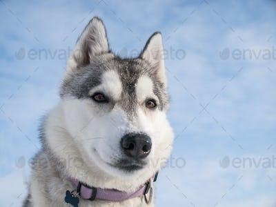 Portrait of a cute Husky dog