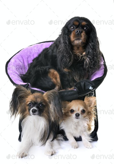 cavalier king charles, papillon and chihuahua