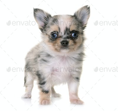 puppy chihuahua in studio