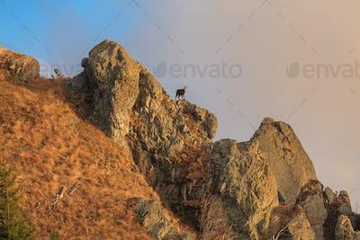 chamois (Rupicapra Carpatica)  on mountain