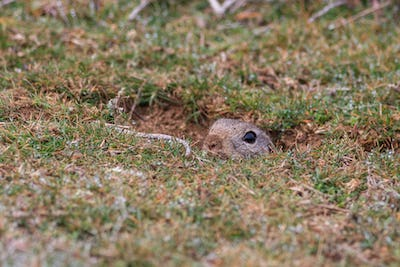 prairie dog (cynomys ludovicianus) sticking out from a burrow.