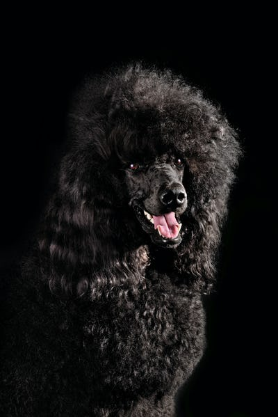 Portrait of black poodle