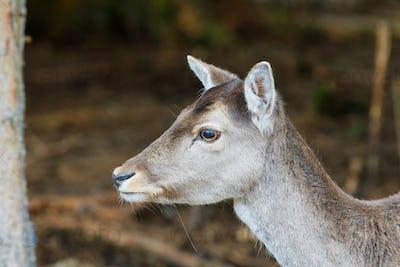 Portrait of fallow deer (Dama dama)