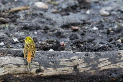 Yellowhammer (Emberiza citrinella).Bird sitting.