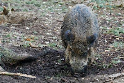 Wild Boar (Sus Scrofa) in the forest