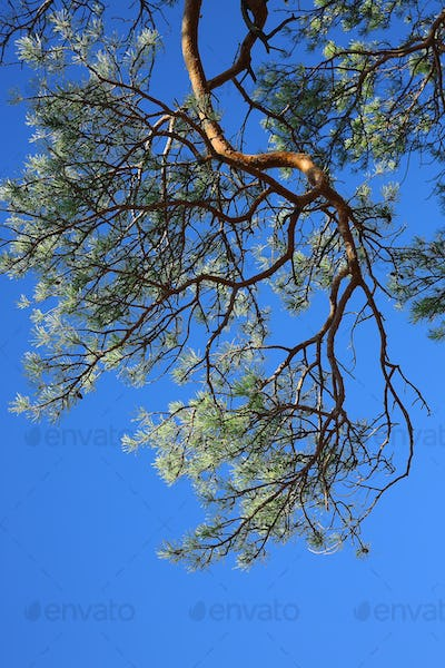 Pine tree in sunny forest