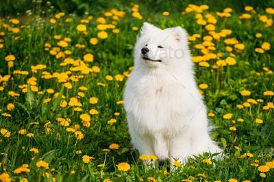 Young Happy Smiling White Samoyed Dog Or Bjelkier, Sammy Sit Out