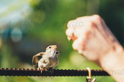 Feeding Of Young Chick, Bird House Sparrow Yellow-beaked