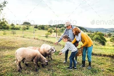 Senior couple with granddaughter feeding sheep on the farm.