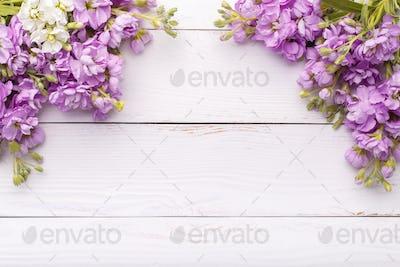 Pink flowers mattiola